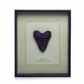 Bronze Fossil of a Megalodon Sharks Tooth